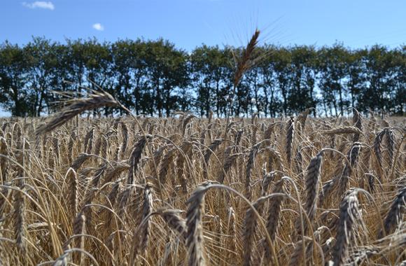 Kornmark på Geddebaekholm